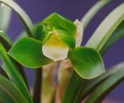 소심(둥근달소심)3촉 신아1개 꽃눈2개