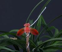 홍화(소춘)10촉 꽃 1경