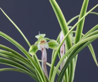 일본춘란 산반복륜(화엄)4촉 꽃 2경