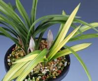일본춘란(질부금)6촉 꽃 2경