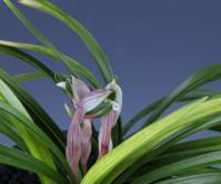 일본춘란 (질부금)꽃 3경